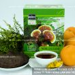 Nấm lim xanh Tiên Phước chính gốc và hình ảnh cây nấm lim rừng thật