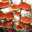 Tác hại của nấm lim xanh nuôi trồng – Phân biệt nấm lim xanh rừng