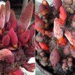 Nấm ngọc cẩu với tác dụng của nấm ngọc cẩu và cách dùng chữa bệnh