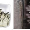 Nấm yến: Đặc điểm tác dụng và cách dùng nấm yến