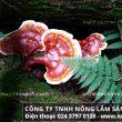 Phương pháp chế biến nấm lim xanh rừng tự nhiên điều trị bệnh ung thư