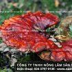 Tác dụng của nấm lim rừng tự nhiên điều trị bệnh máu nhiễm mỡ có tốt?