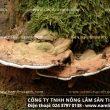Tác dụng của nấm lim xanh rừng chữa ung thư – Nhận biết nấm lim xanh