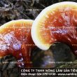 Tác dụng của nấm linh xanh rừng thiên nhiên điều trị nám da hiệu quả