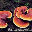 Tác hại của nấm lim xanh nuôi trồng – Công dụng nấm lim rừng tự nhiên