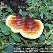 Thu mua nấm lim xanh rừng không chất lượng tại các địa chỉ không uy tín
