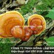 Trà nấm lim xanh rừng tự nhiên – Món quà tuyệt vời cho sức khỏe